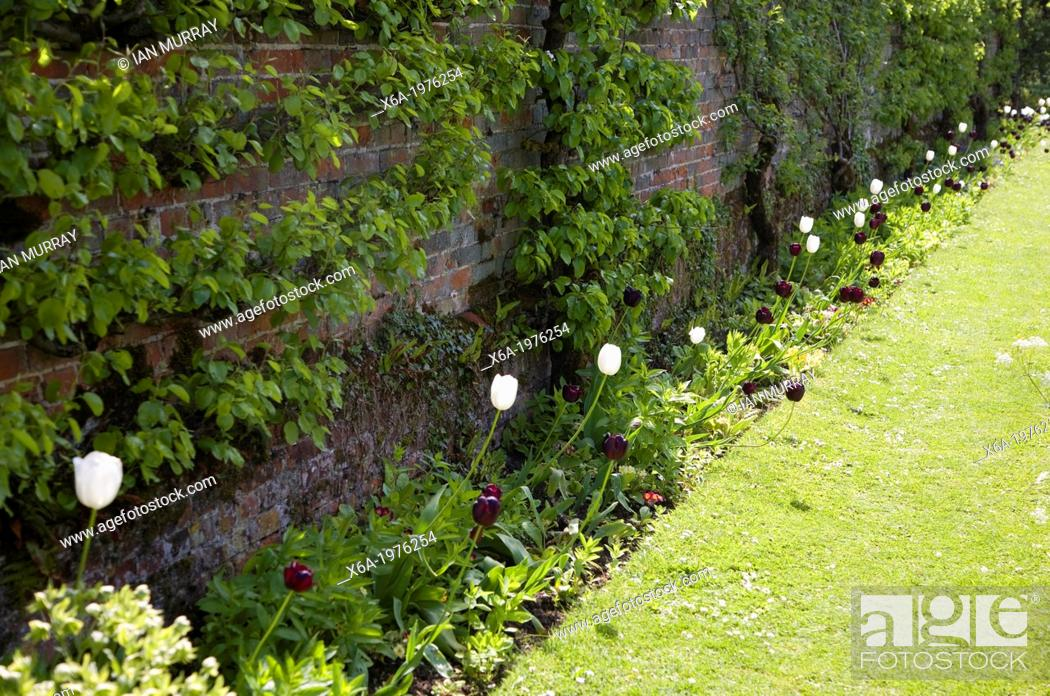 Stock Photo: Tulips flowering against grass path and wall in gardens at Helmingham Hall, Suffolk, England.