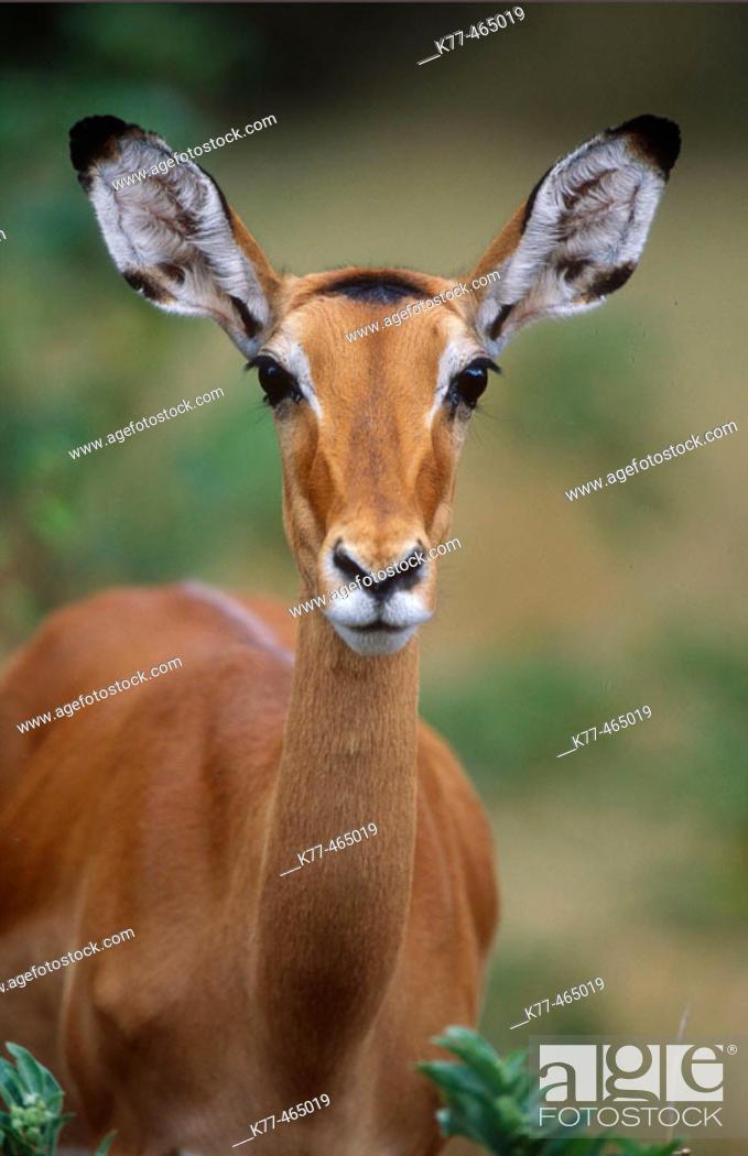 Stock Photo: Impala, female (Aepyceros melampus). Samburu W.R., Kenya.