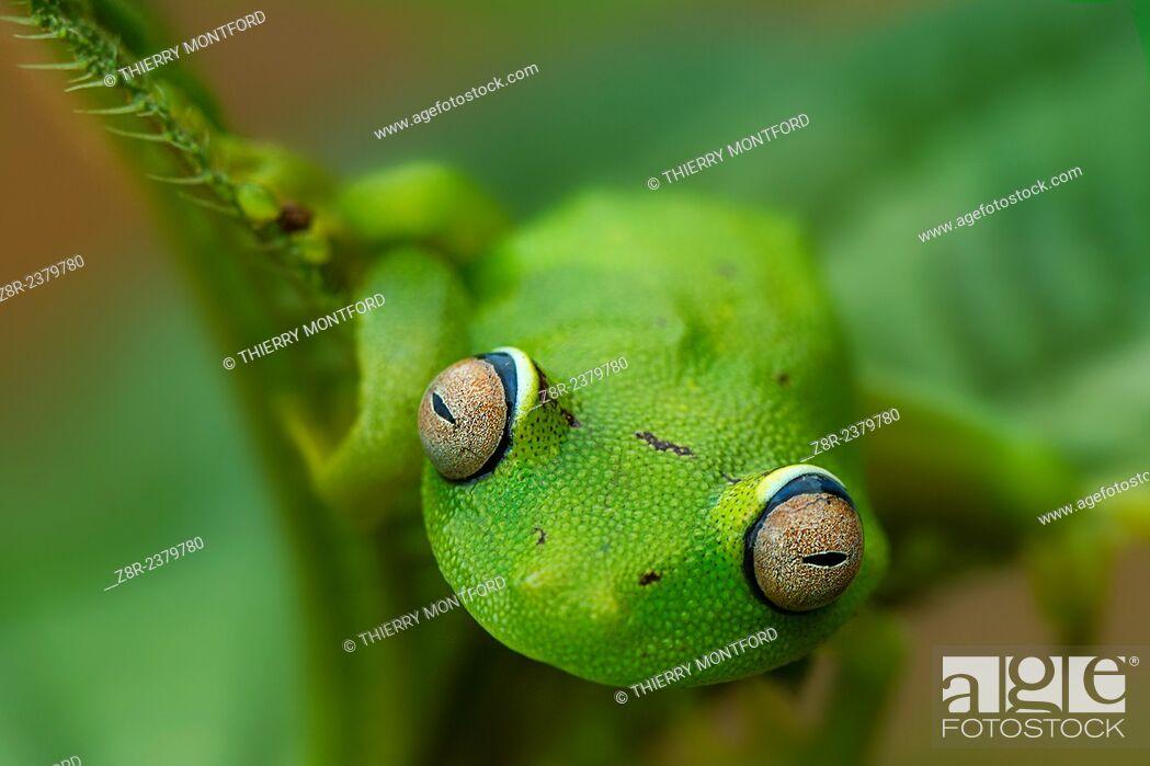 Stock Photo: Hypsiboas cinerascens. Tree frog. French Guiana.