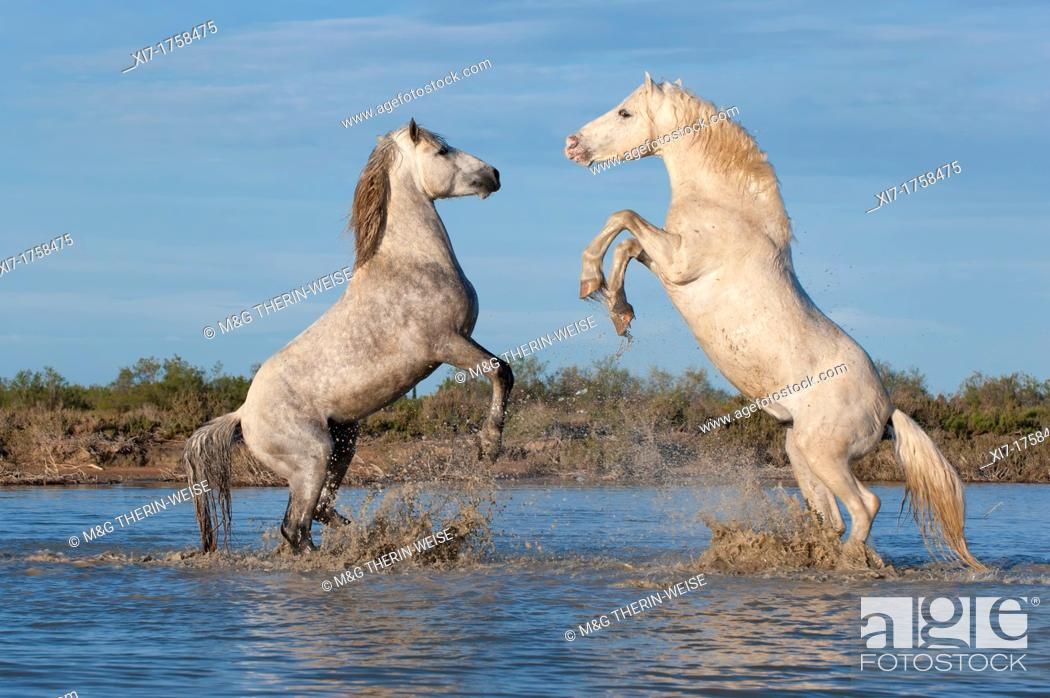 Imagen: Camargue horses stallions fighting in the water, Bouches du Rhône, France.