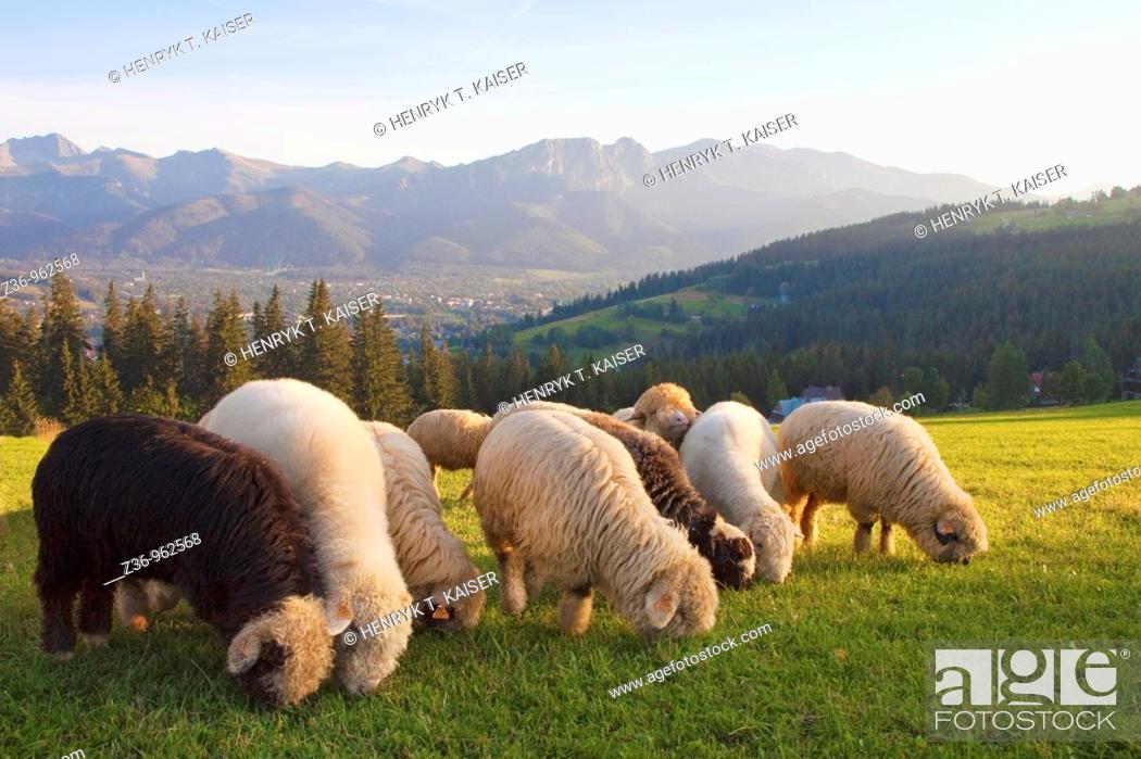 Stock Photo: Tatras Mountains, sheep, Gubalowka, Zakopane, Poland.