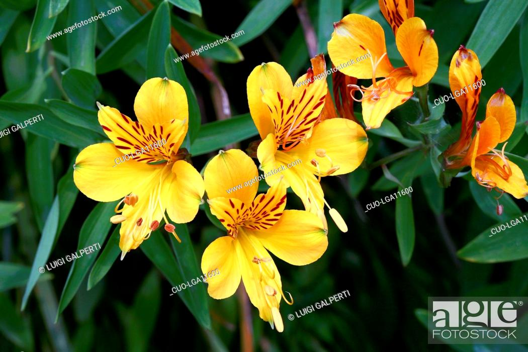 Alstroemeria Aurantiaca Peruvian Lily Stock Photo Picture And Rights Managed Image Pic Cuo Lga11600 Agefotostock