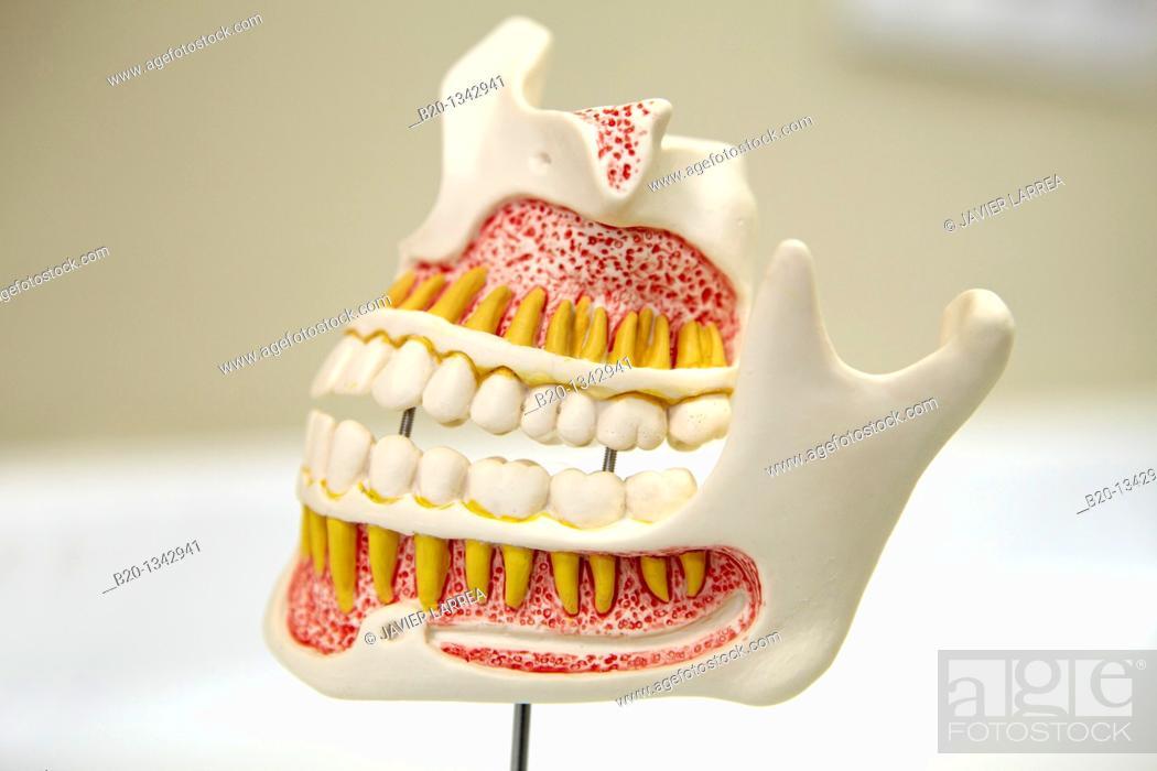 Stock Photo: Dentition model, dental clinic, Eibar, Gipuzkoa, Euskadi, Spain.
