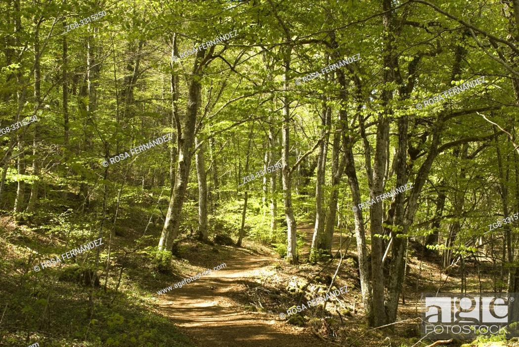 Photo de stock: Beech forest near Gandara Creek, Villabascones de Bezana, Las Merindades County, province of Burgos, Castilla y Leon, Spain.