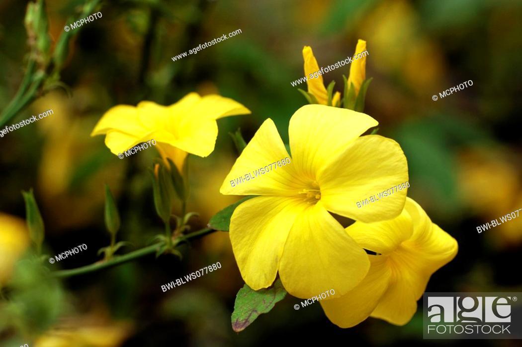 Yellow flax reinwardtia indica flowers stock photo picture and stock photo yellow flax reinwardtia indica flowers mightylinksfo