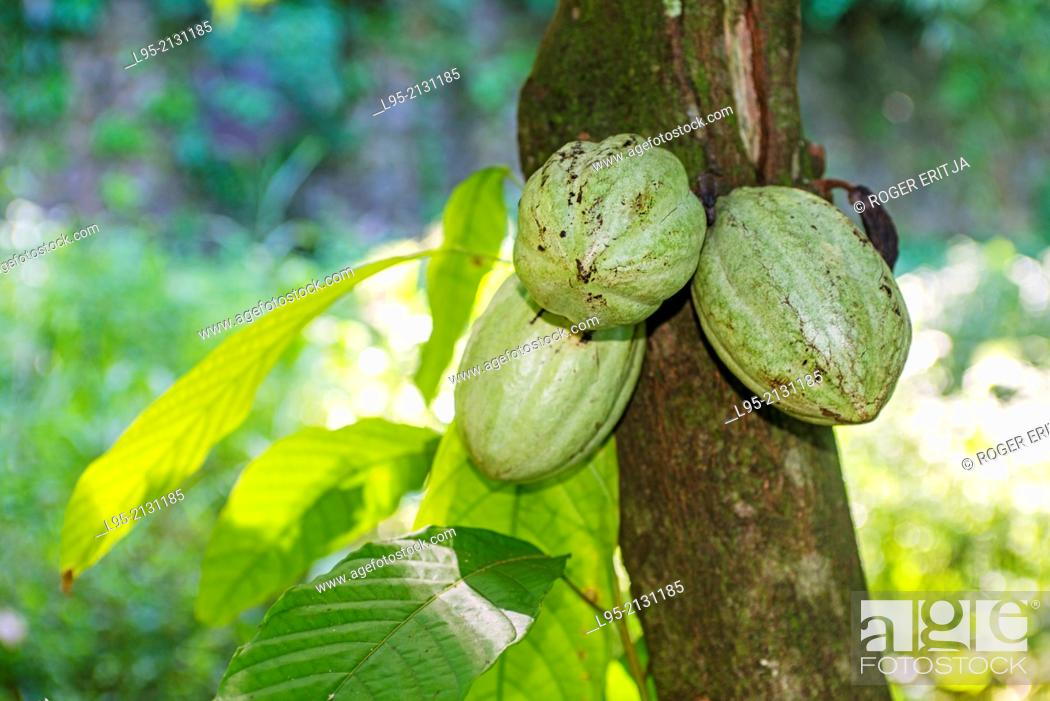 Stock Photo: Fruits of the Cocoa tree (Theobroma cacao), Martinique, French West Indies.