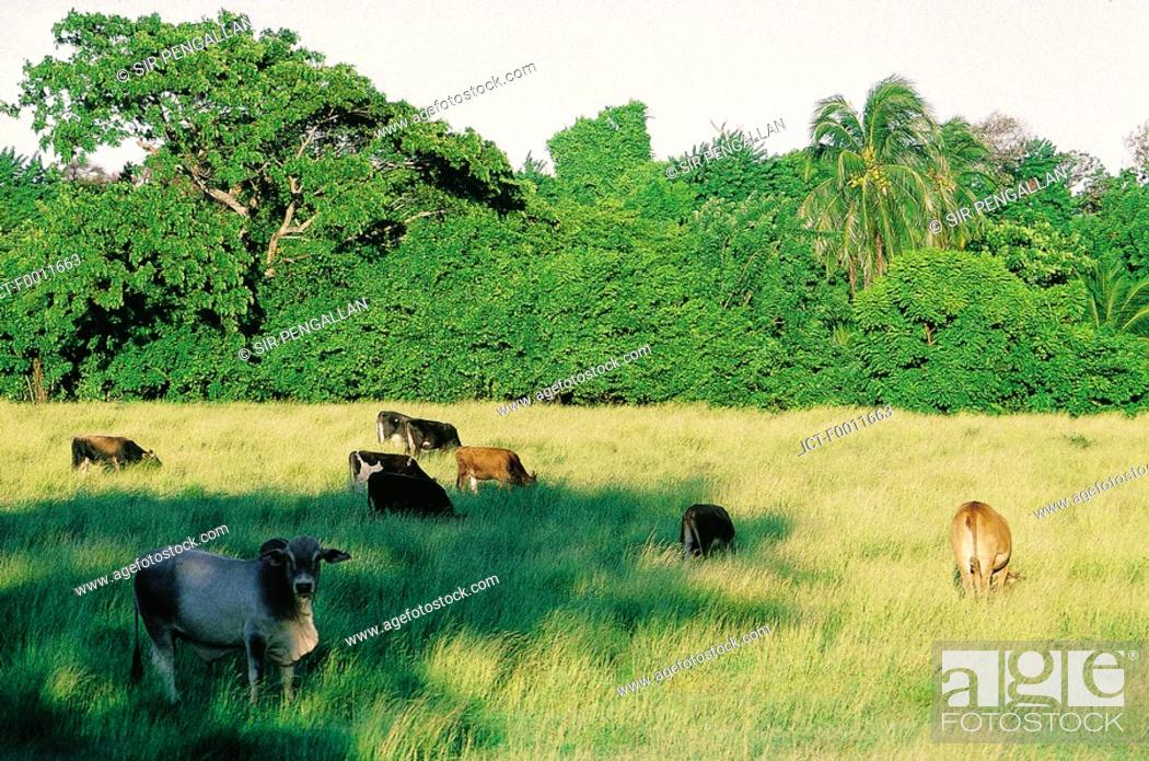 Stock Photo: Jamaica, Golden Grove vicinity, cows grazing in a field.