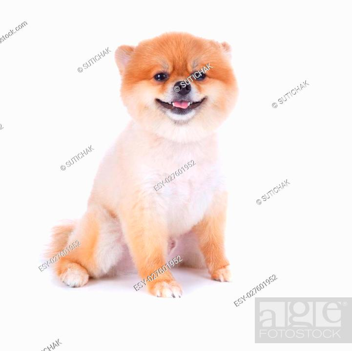Pomeranian Dog Brown Short Hair On White Background Stock Photo Picture And Low Budget Royalty Free Image Pic Esy 027601952 Agefotostock
