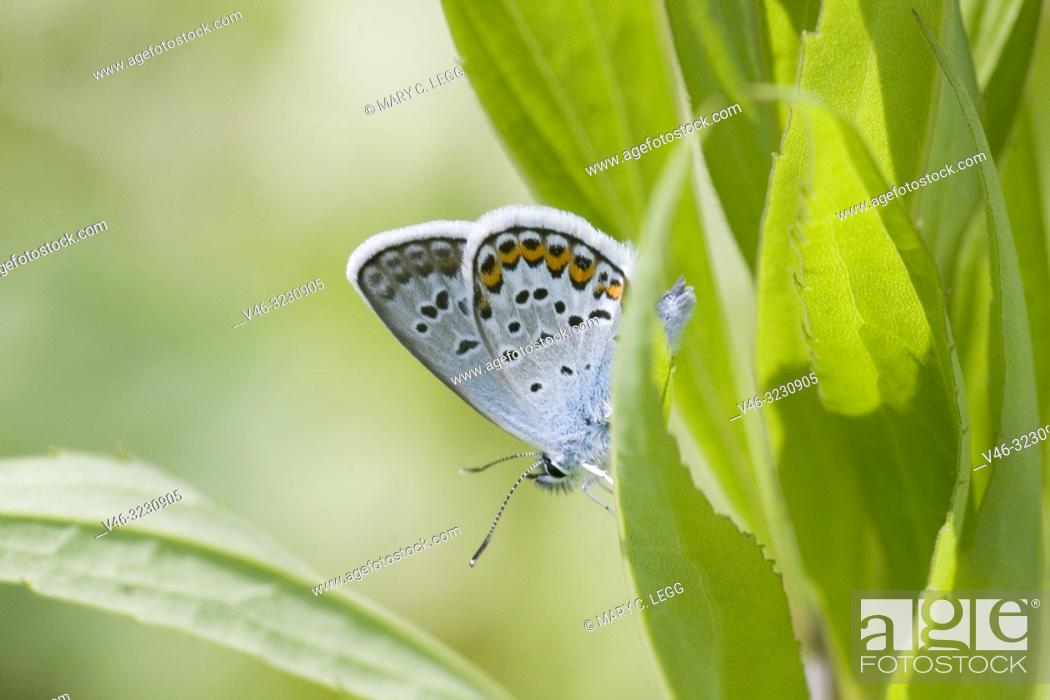 Stock Photo: Idas Blue, Plebejus idas are myrmecophilic Lycaenidae associatted with Lasius and Formica ants. Meadow grasslands with large variety of flowering plants.