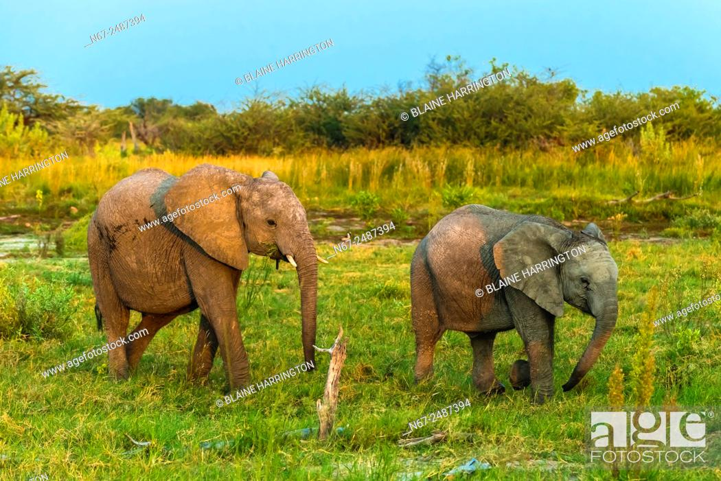 Stock Photo: Baby elephants, Kwando Concession, Linyanti Marshes, Botswana.