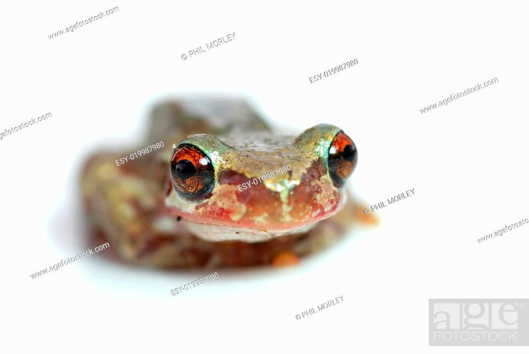 Stock Photo: red eye tree frog looking goofy.