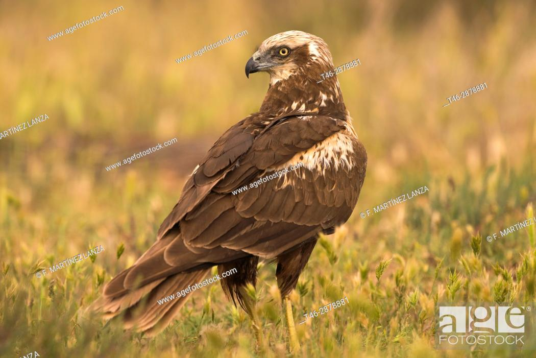 Imagen: Western Marsh Harrier (Circus aeruginosus). Photographed in the laguna de la mancha in Toledo.