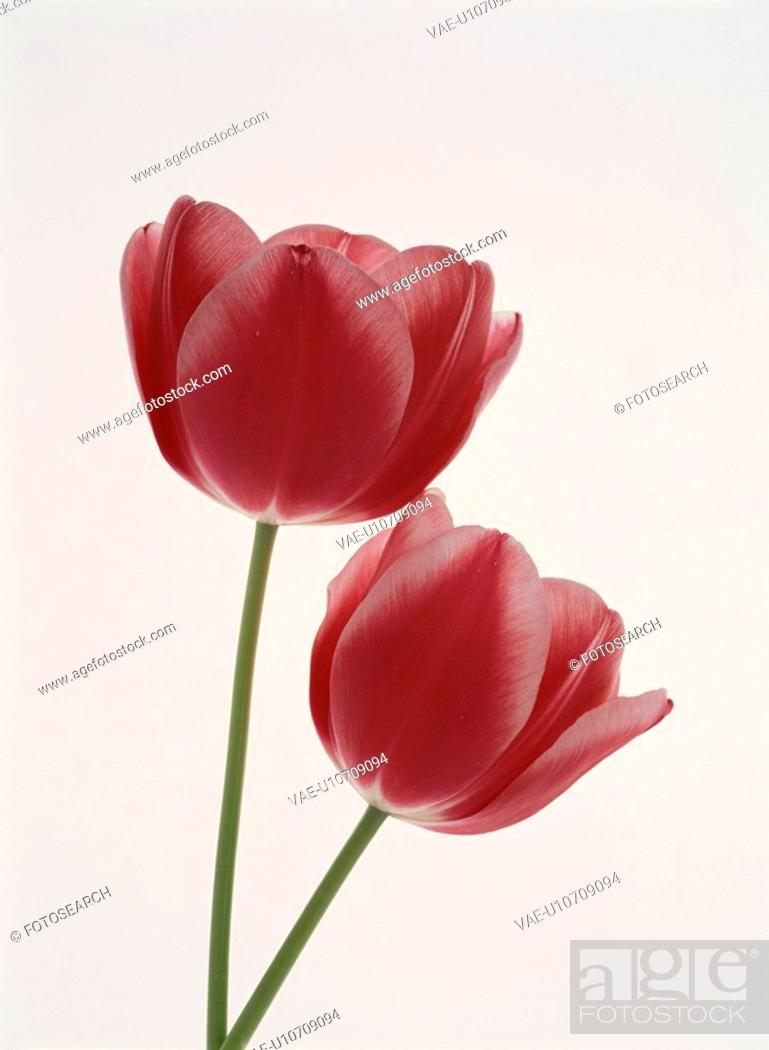 Stock Photo: A Red Tulip.