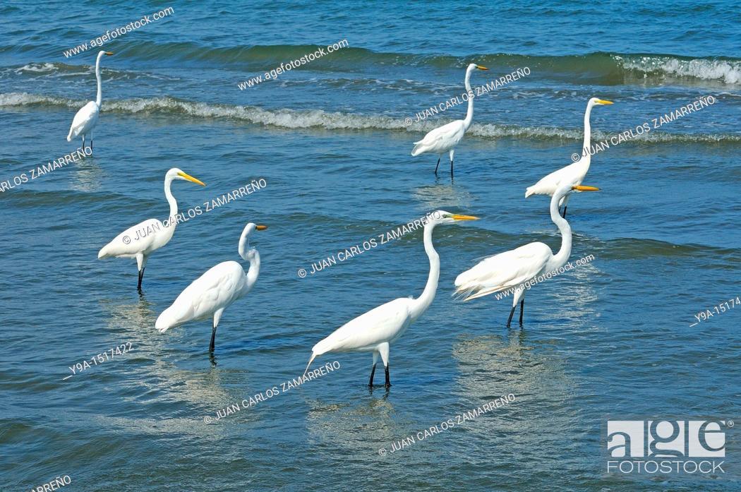 Stock Photo: Casmerodius albus group, Great Egret, Ardeidae, Livingston, Guatemala.