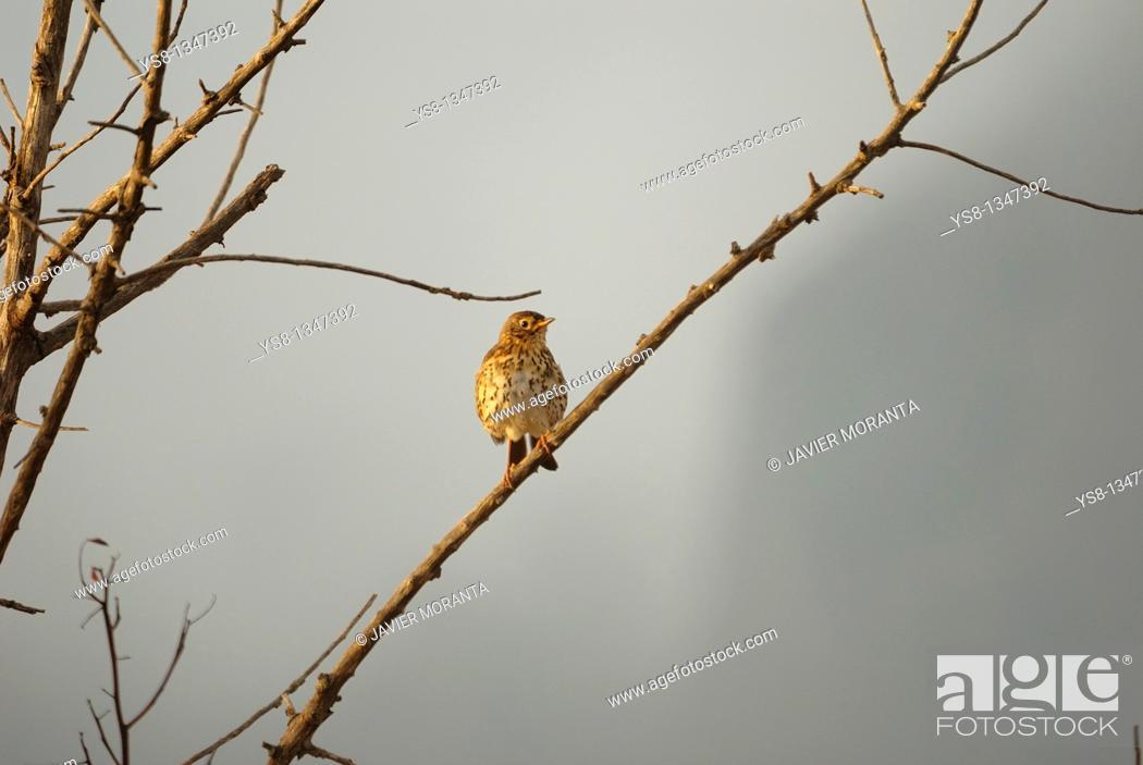 Stock Photo: Spain, Balearic Islands, Mallorca, Song Thrush Turdus philomelos.