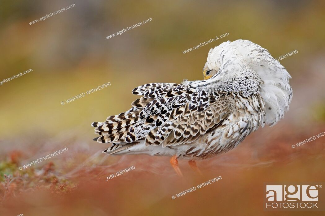 Imagen: Ruff (Philomachus pugnax) male in breeding plumage at the lek, Norway, Varanger Peninsula.