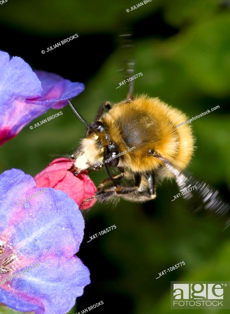Stock Photo: hairy footed flower bee Anthophora plumipes  Male, in flight approaching a pulmonaria flower  Males are brown.