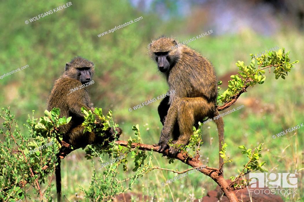 Stock Photo: TANZANIA, LAKE MANYARA, OLIVE BABOONS SITTING IN BUSH.