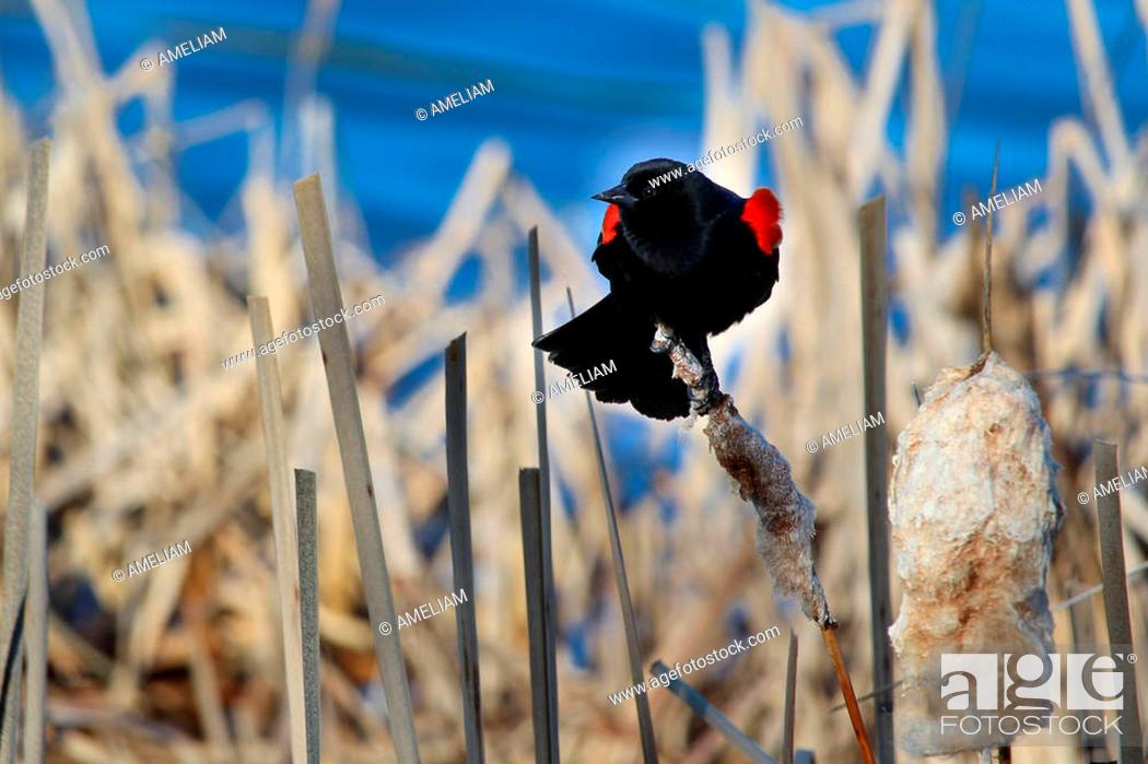 Stock Photo: Red winged blackbird sitting on a dried cattail with a blue background.