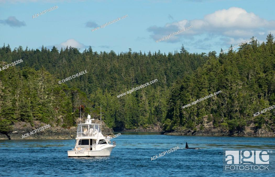 Imagen: Orca Killer Whale , orcinus orca, near Telegraph Cove, Vancouver Island, British Columbia, Canada.