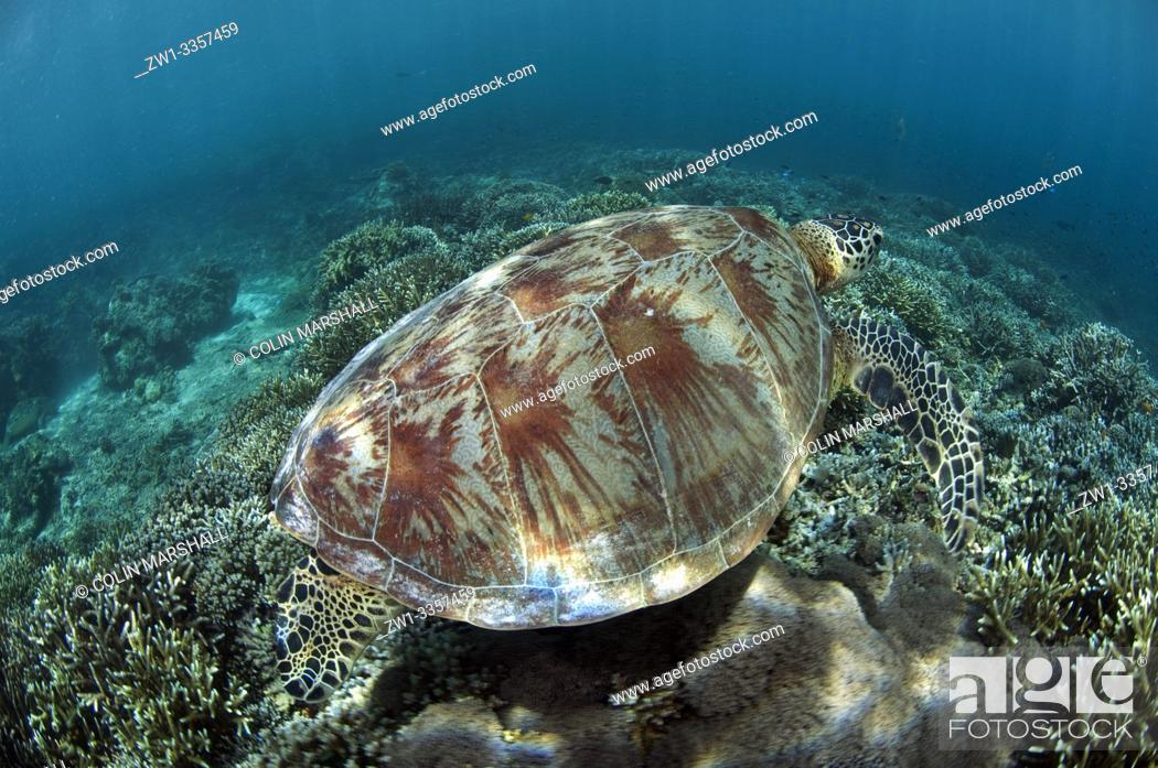 Stock Photo: Green Turtle (Chelonia mydas, Cheloniidae family) swimming over coral reef, South Point dive site, Sipadan Island, Sabah, Malaysia.