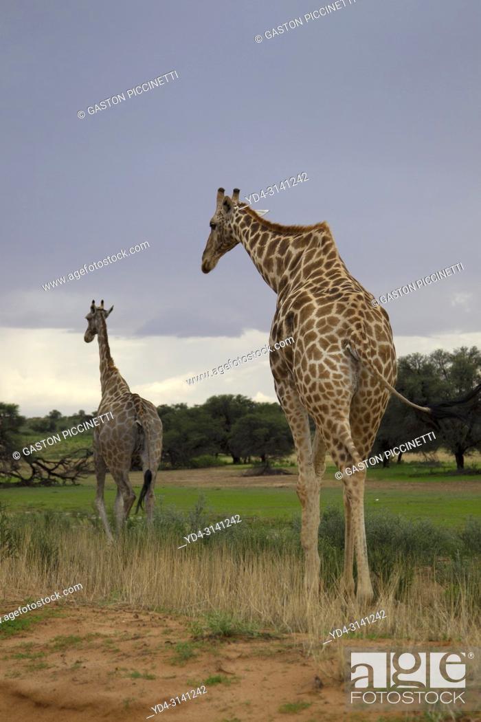 Stock Photo: Giraffe (Giraffa giraffa giraffa), Kgalagadi Transfrontier Park, Kalahari desert, South Africa/Botswana.