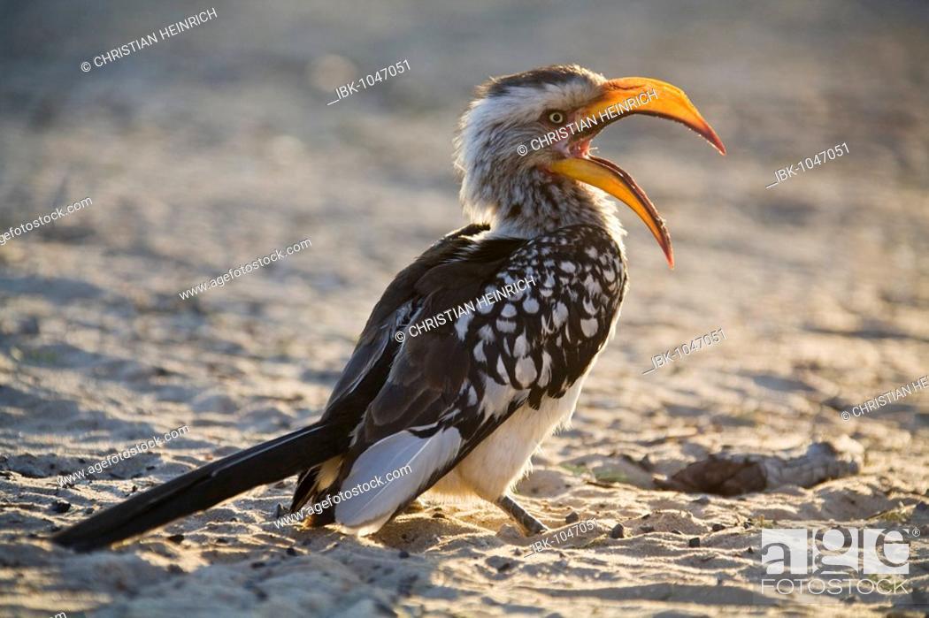 Stock Photo: Eastern Yellow-billed Hornbill (Tockus flavirostris), Kalahari, Kgalagadi Transfrontier park, South Africa, Botswana, Africa.