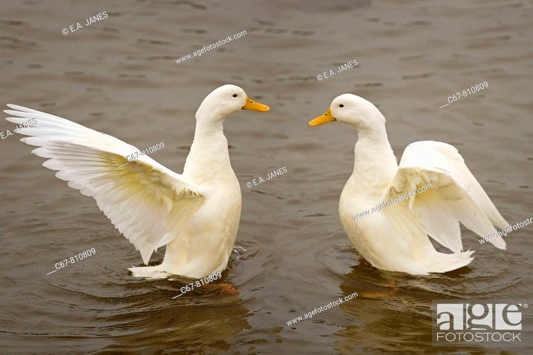 Stock Photo: Farmyard Ducks Norfolk UK Early November.