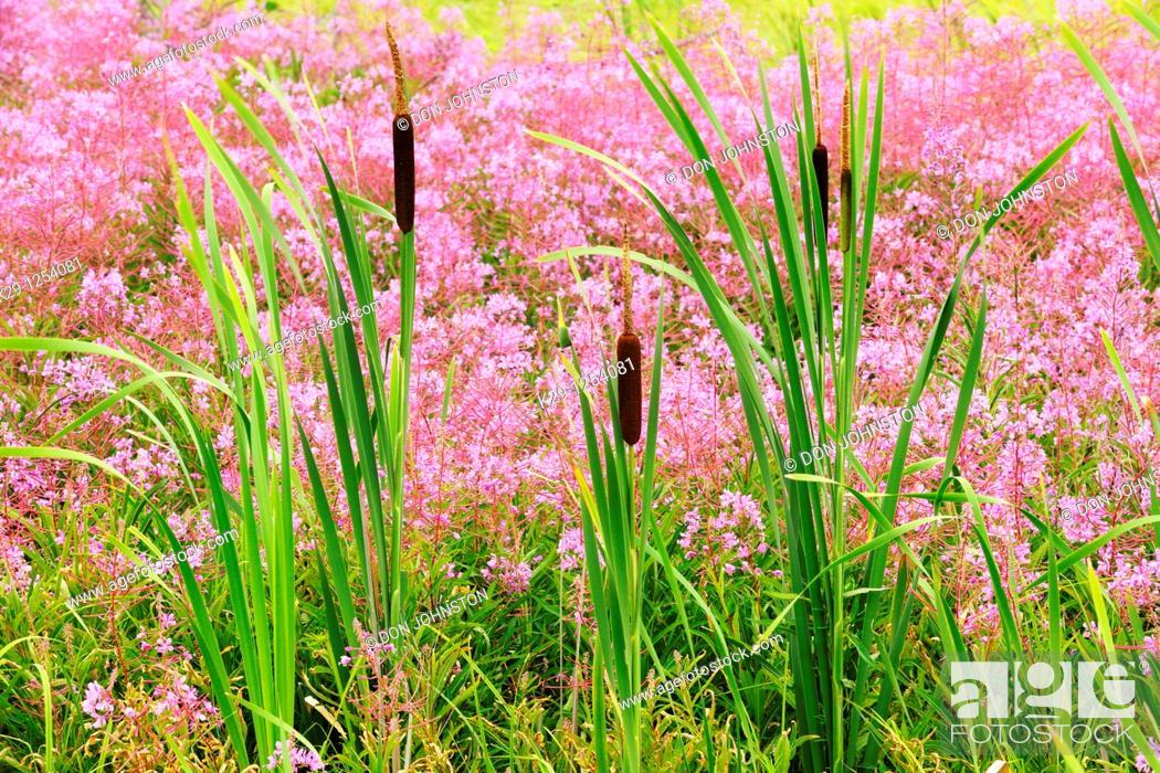 Stock Photo: Colony of fireweed Epilobium angustifolium with cattails Typha latifolia.