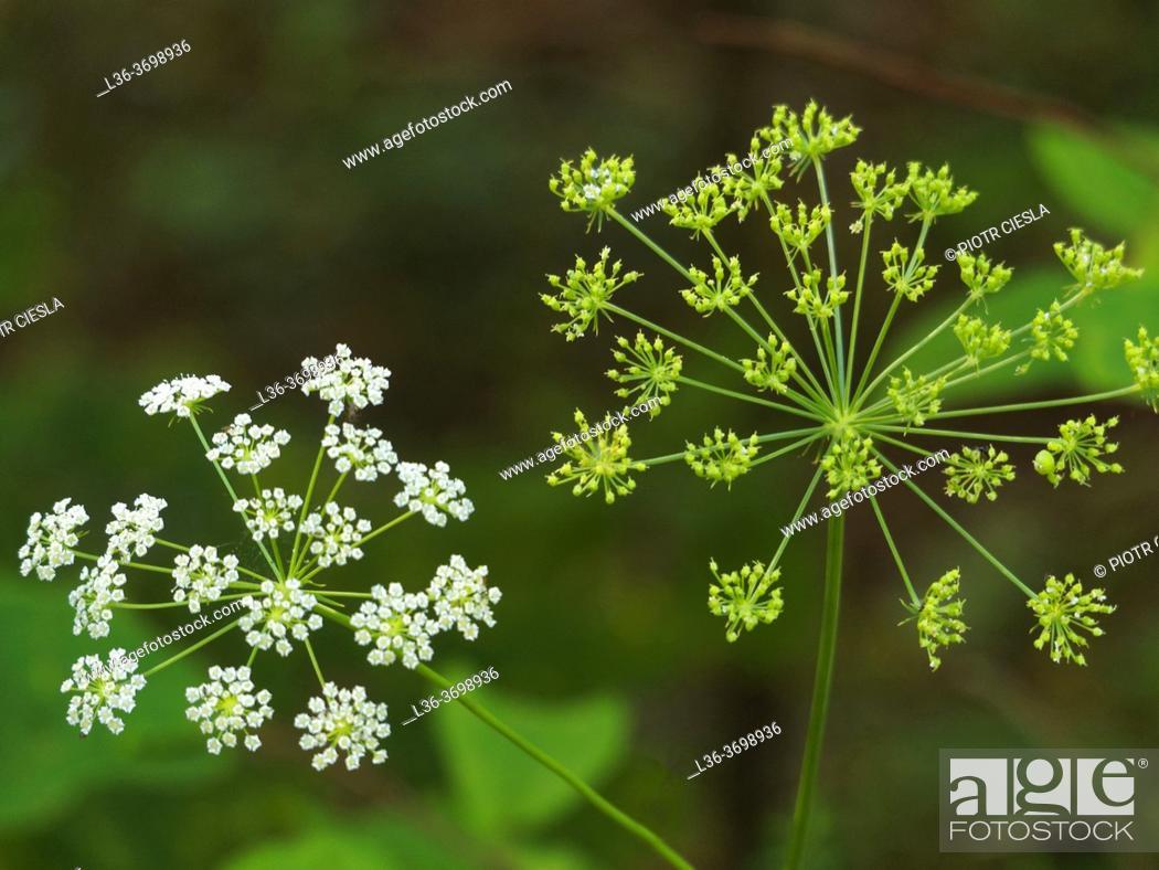 Photo de stock: Poland, nature, green, horizontal, green, spring, white, flowers, wild.