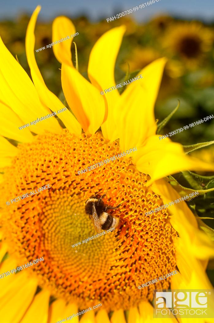 Stock Photo: 30 July 2020, Saxony-Anhalt, Schleibnitz: A bumblebee is sitting on a blooming sunflower. Midsummer has arrived in the country.