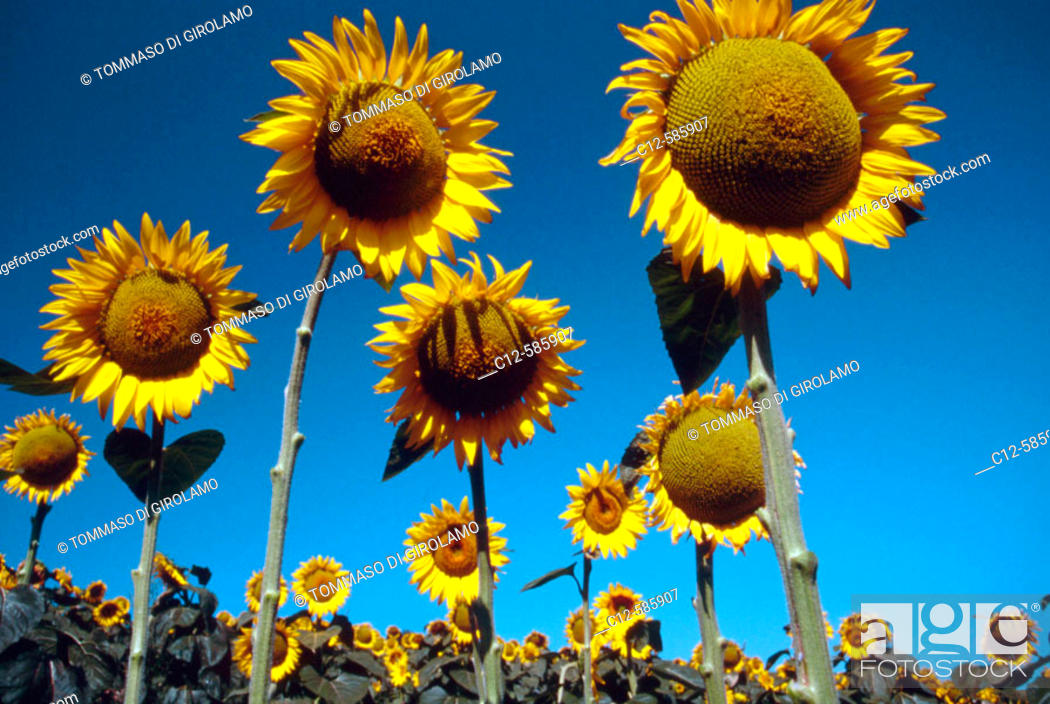 Stock Photo: Agriculture Sunflowers.