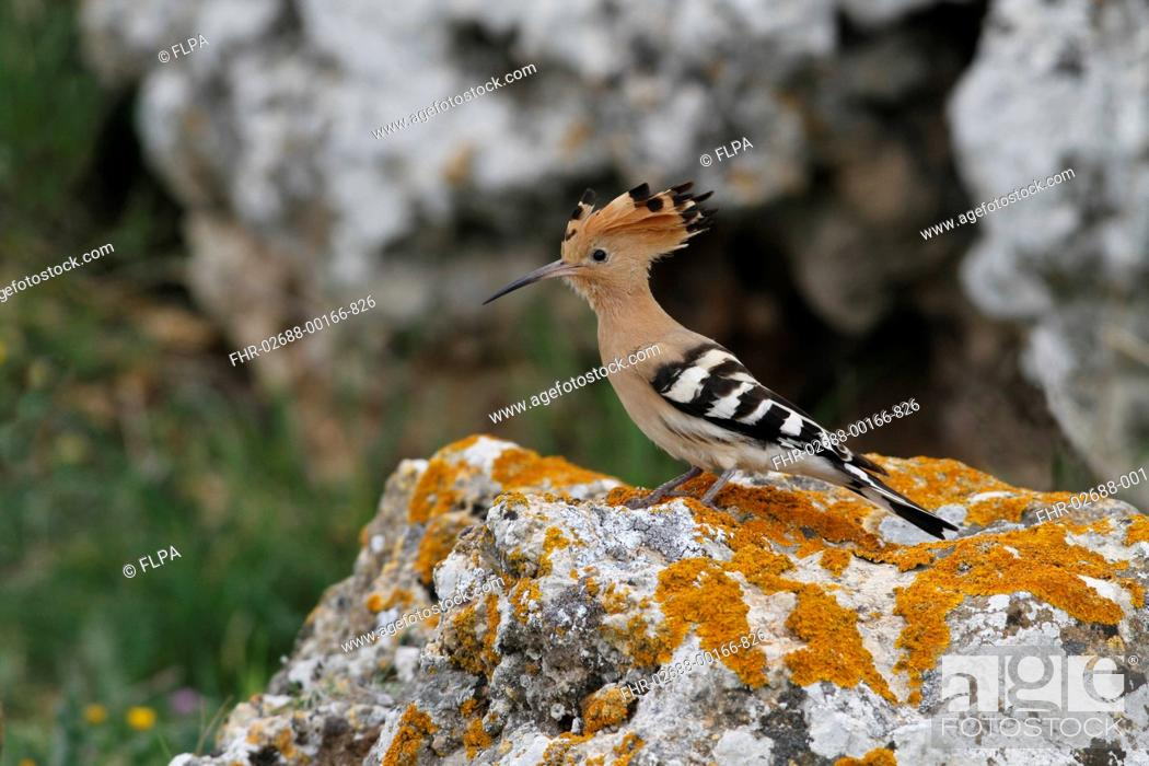 Stock Photo: Eurasian Hoopoe Upupa epops adult male, standing on lichen covered rock, Andalucia, Spain, april.