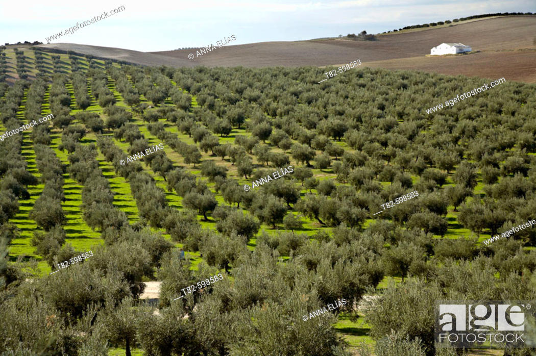 Stock Photo: Olive trees around Baena. Córdoba province. Andalucia. Spain.