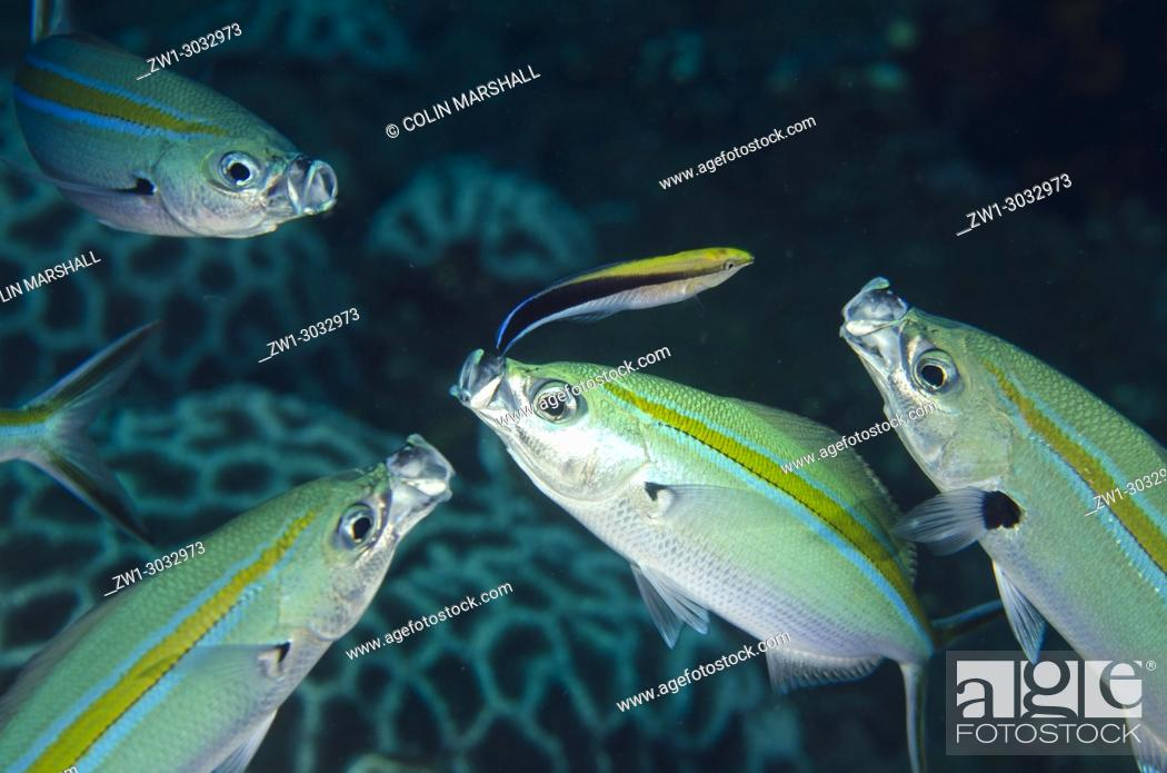 Stock Photo: Scissortail Fusilier (Caesio caerulaurea) being cleaned by Bluestreak Cleaner Wrasse (Labroides dimidiatus), Liberty Wreck dive site, Tulamben, Bali, Indonesia.