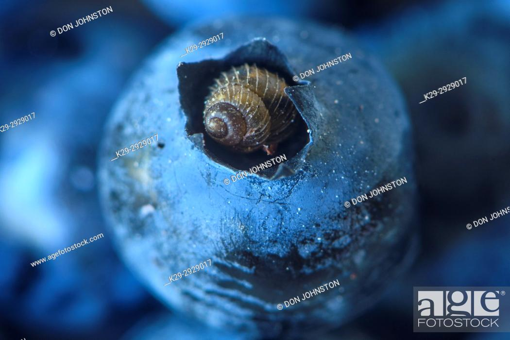 Stock Photo: Boreal Top snail (Zoogenetes harpa) resting in the tip of a blueberry, Dowling, Ontario, Canada.