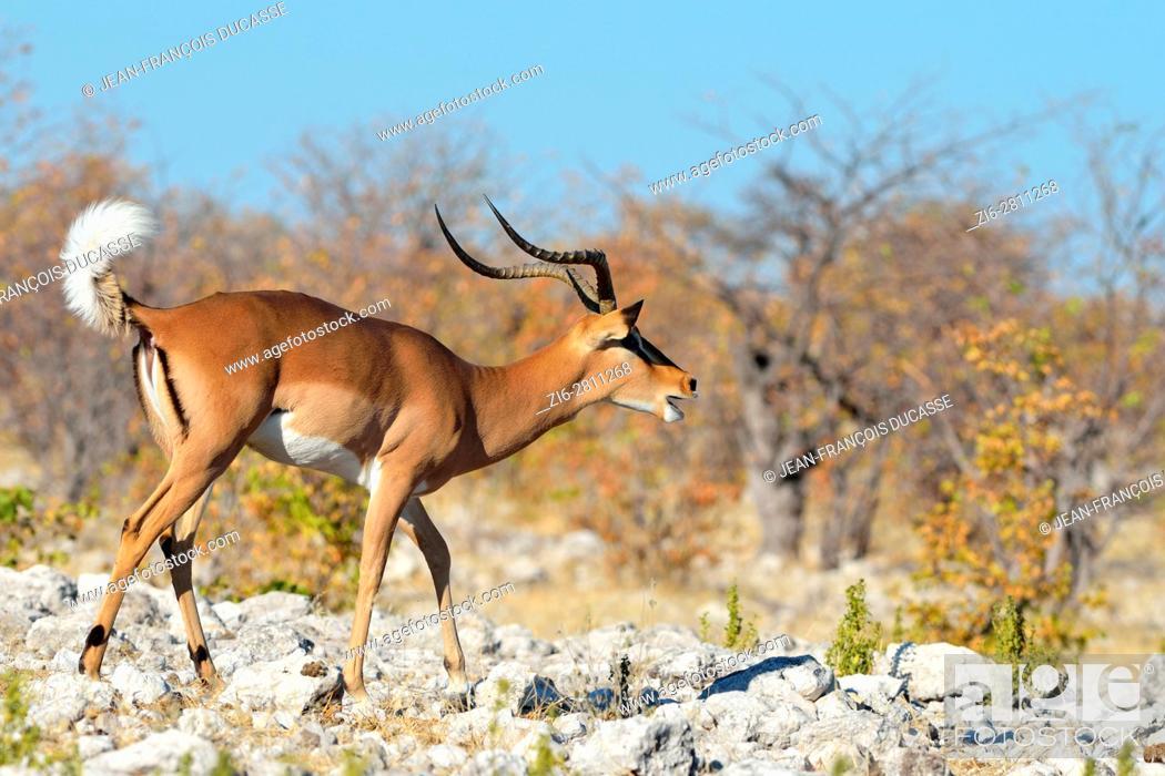 Imagen: Black-faced impala (Aepyceros melampus petersi), adult male on stony ground, belling, Etosha National Park, Namibia, Africa.