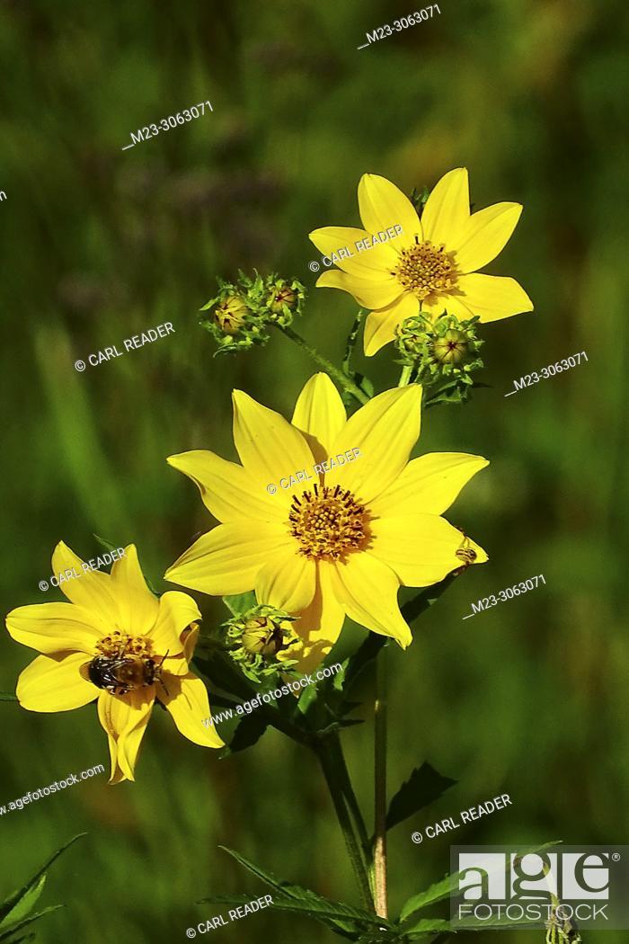 Stock Photo: Tickseed Sunflower, Bidens aristosa, makes an appearance in late summer, Pennsylvania, USA.
