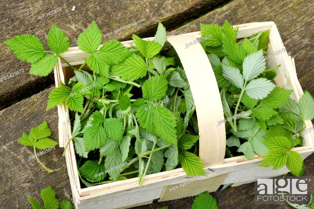Stock Photo: European red raspberry (Rubus idaeus), collected, young raspberry leaves in a little basket.