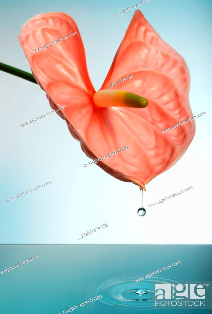 Stock Photo: Anthurium and water drop.