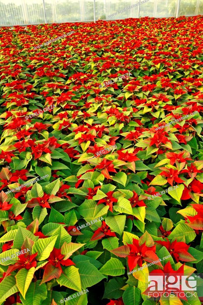 Stock Photo: Poinsettias in a greenhouse. Reus, Tarragona province, Catalonia, Spain.