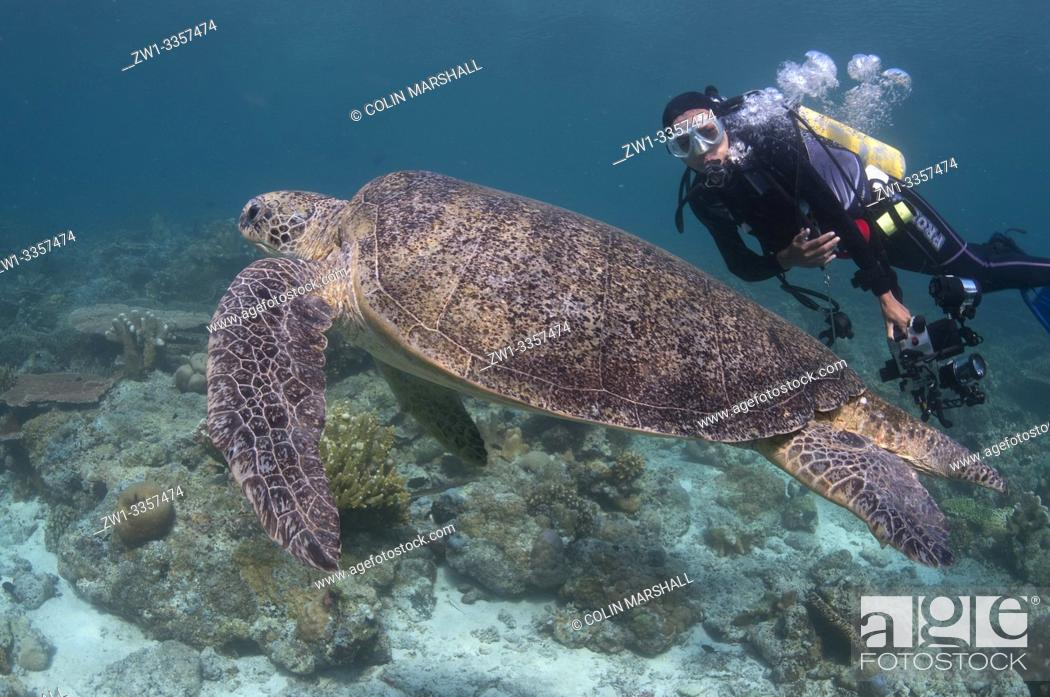 Stock Photo: Diver (model released) watching Loggerhead Turtle (Caretta caretta, Cheloniidae family) resting on coral reef, Hanging Gardens dive site, Sipadan Island, Sabah.