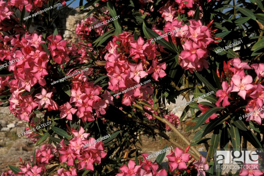 nerium oleander in the medieval city of byblos stock photo picture