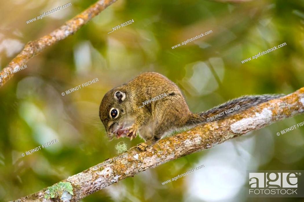 Stock Photo: Borneon mountain ground squirrel Dremomys everetti cloud forest Kinabalu National Park Sabah Borneo Malaysia.