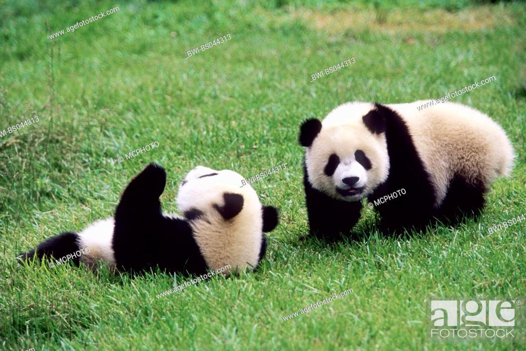 Stock Photo: giant panda (Ailuropoda melanoleuca), two eight months old Giant Pandas playing in the research station of Wolong, national animal of China, China, Sichuan.