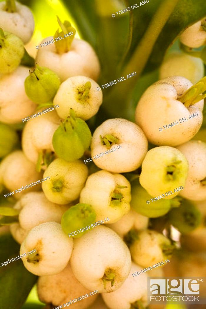 Stock Photo: Cluster of white and green seed pods on a tropical plant.