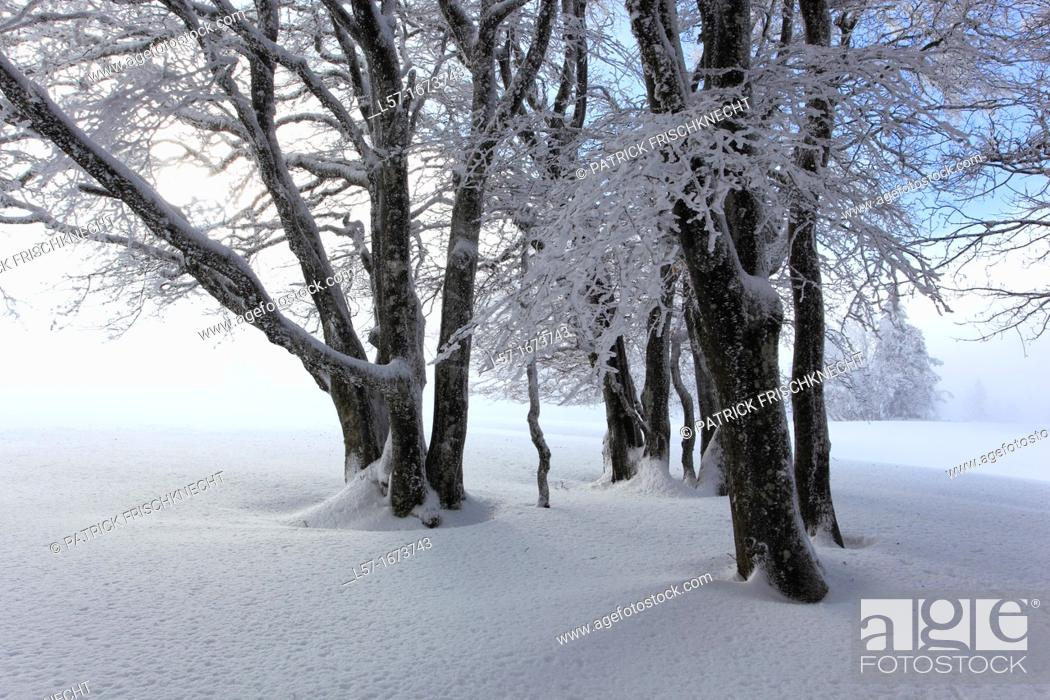 Stock Photo: group of tree in winter.