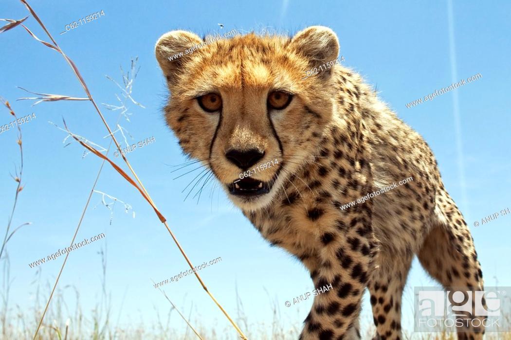 Stock Photo: Cheetah (Acinonyx jubatus) adolescent peering curiously -wide angle perspective-, Maasai Mara National Reserve, Kenya.