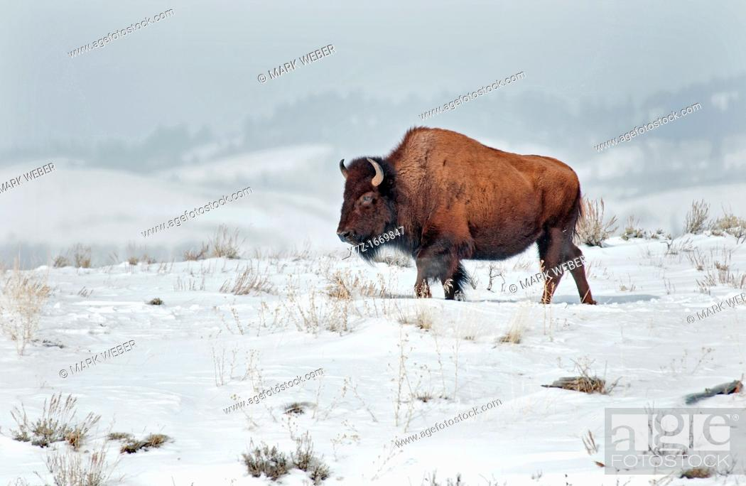 Stock Photo: Tetons, American Bison in winter snow near the Gros Ventre River at Grand Teton National Park in northern Wyoming.