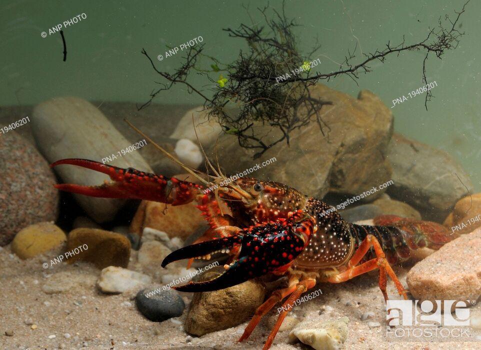 Stock Photo: Red swamp crayfish Procambarus clarkii.